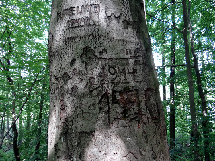 One of the trees with carvings dated to WWII. Photo by Dawid Kobiałka.