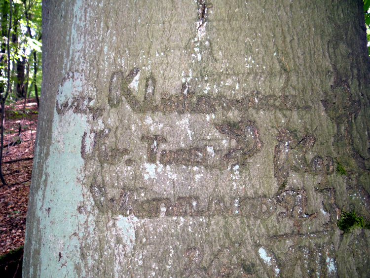 Tree palimpsest with different carvings. Photo by Dawid Kobiałka.