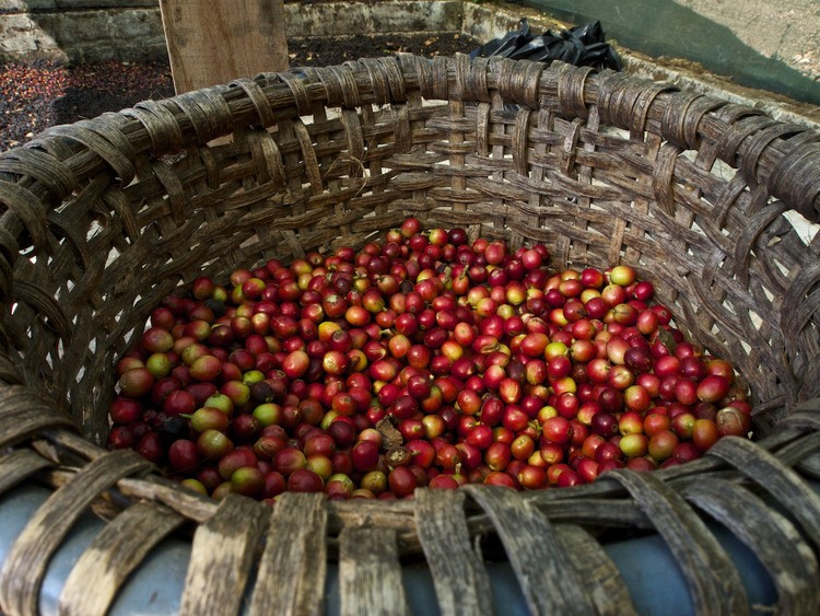 Coffee cherries in Monteverde, Costa Rica by Samuel Victor
