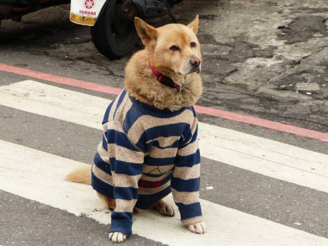 A dog all rugged up for cold weather. Photo by 玄史生, via Wikimedia Commons.